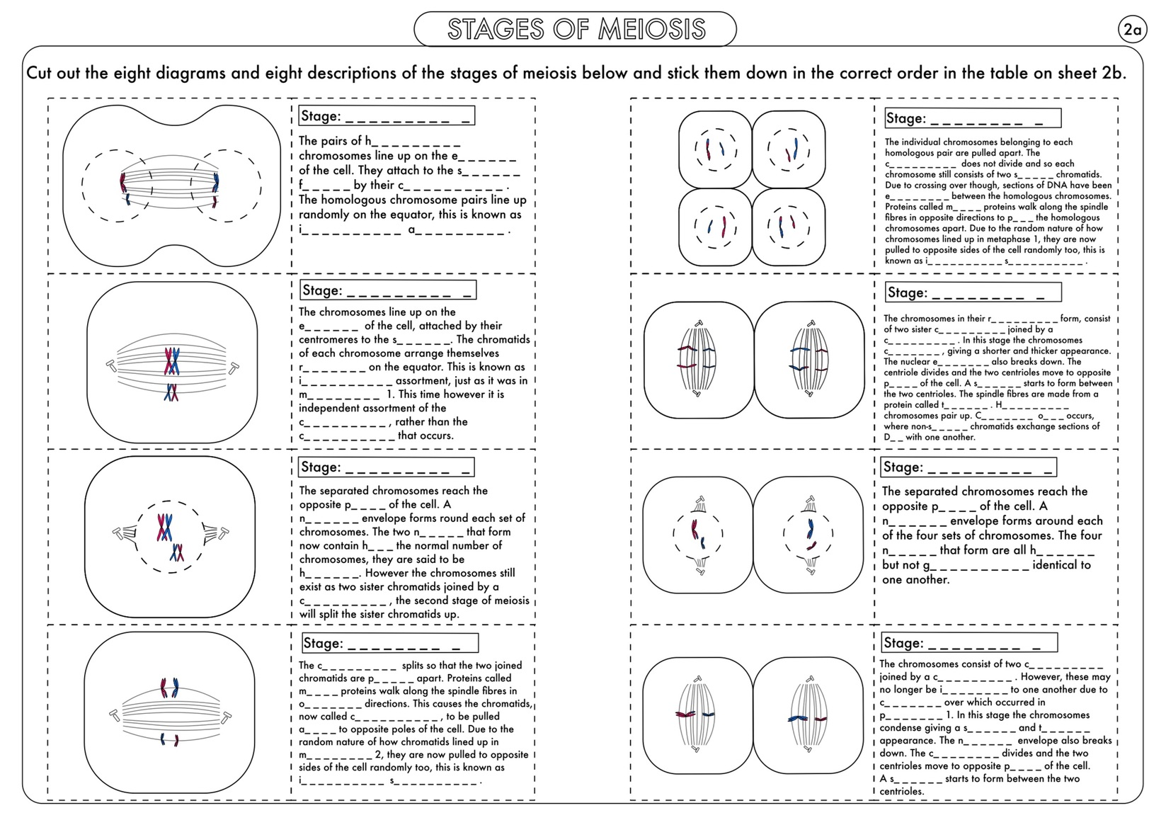 A level biology mitosis activity by beckystoke teaching resources a level biology cell division mitosis and meiosis activity and poster bundle ccuart