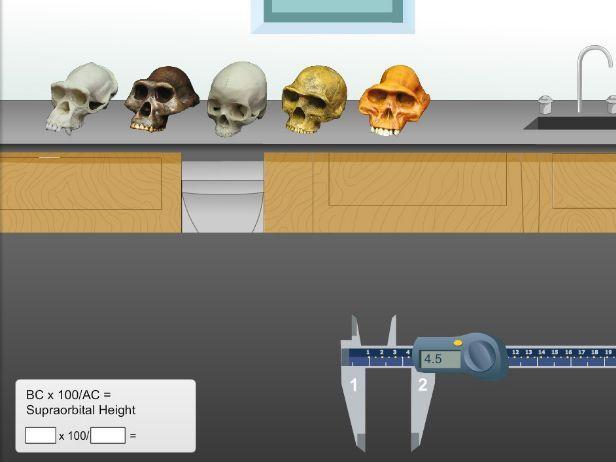 Human Evolution Virutal Simulation Comparing Skulls of Hominoids