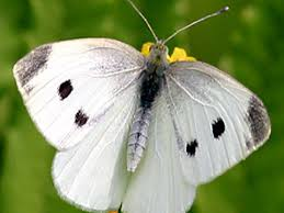 Life cycle of the cabbage white butterfly