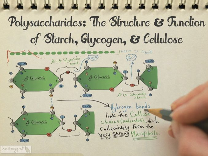 Polysaccharides, Starch, Glycogen and Cellulose A-Level Biology Revision Notes & Worksheet
