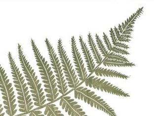 Fern - botanical images