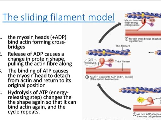 Muscle contraction, respiration and homeostasis (Topic 7 for Edexcel SNAB 2015) presentation