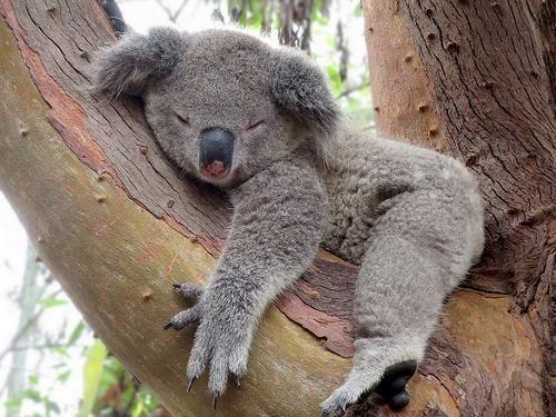 Koalas comprehension