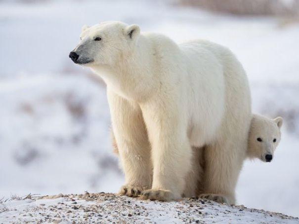 Adaptation - Polar Bears