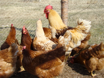 Chickens: Animals, Food, and Farming