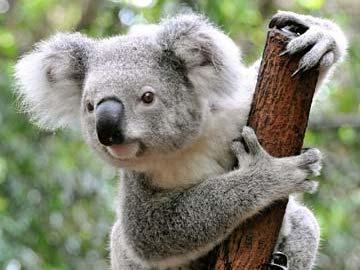 Koalas - A simple guide