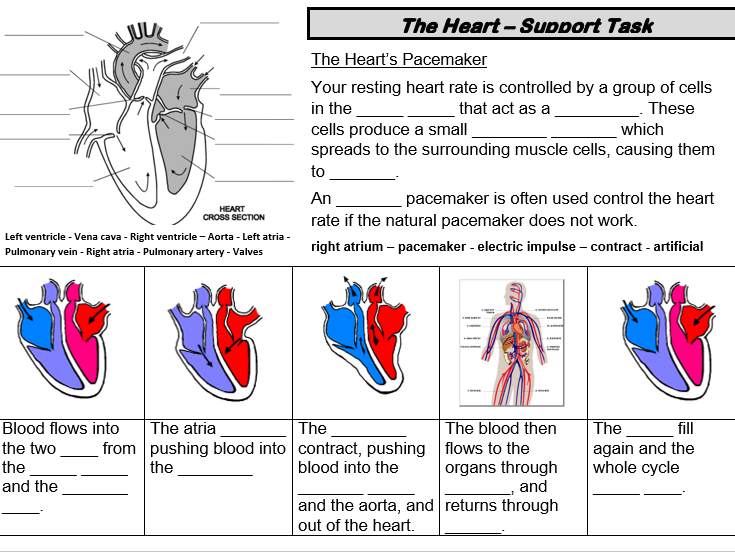 Differentiated Cardiac Cycle/Heart Structure Sheets ...