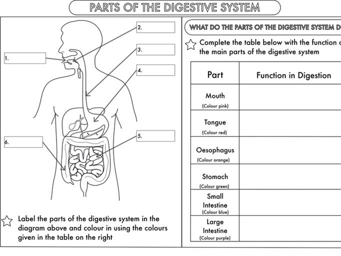 the digestive system worksheet The digestive system provides the body with water, electrolytes, and other nutrients to do this, the digestive system is specialized to ingest food.