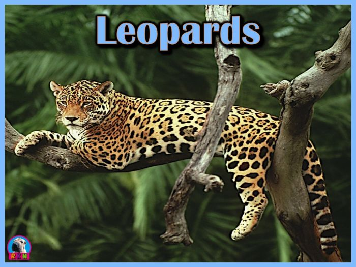 Leopards - PowerPoint & Activities