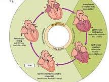 OCR Biology The cardiac cycle and its control