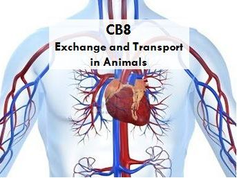 CB8 Exchange and transport in animals Edexcel 9-1: SA:V, heart, lungs, diffusion and respiration