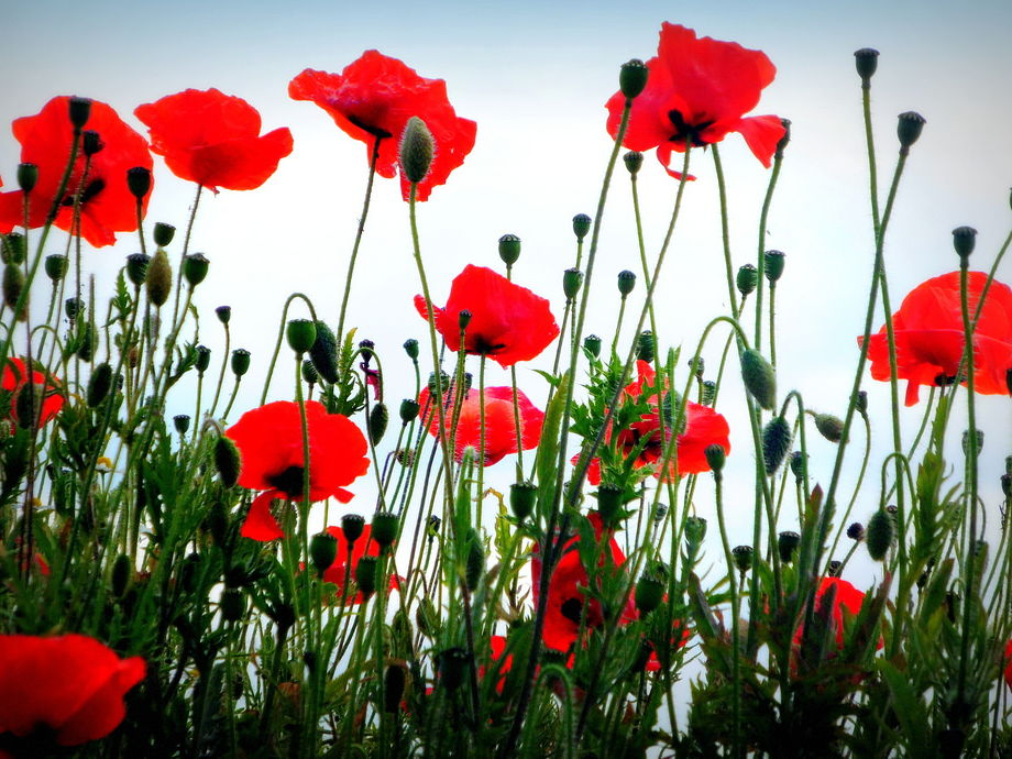 Poppies - GCSE Poetry revision notes (Power and Conflict anthology)