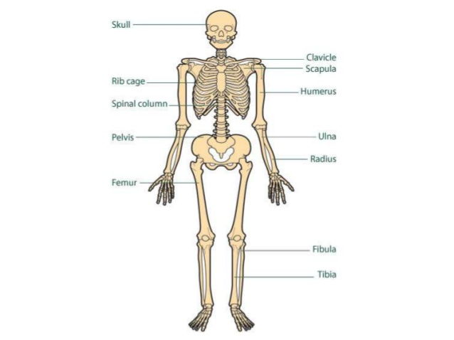 Skeletal System Quiz by charlotte_rigby954 - Teaching Resources - Tes