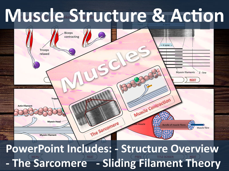 Muscles Presentation - Includes, muscle structure, sarcomere structure and sliding filament theory.