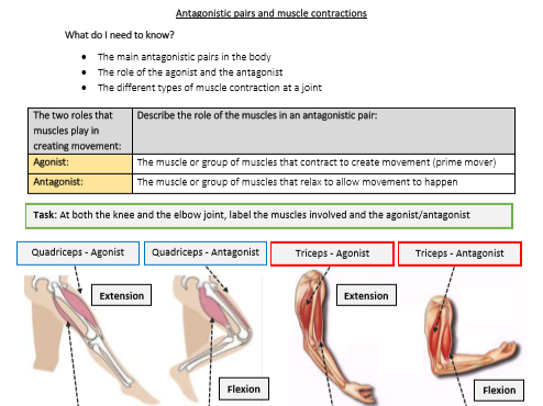 GCSE PE - Antagonistic pairs and muscle contractions - Student worksheet