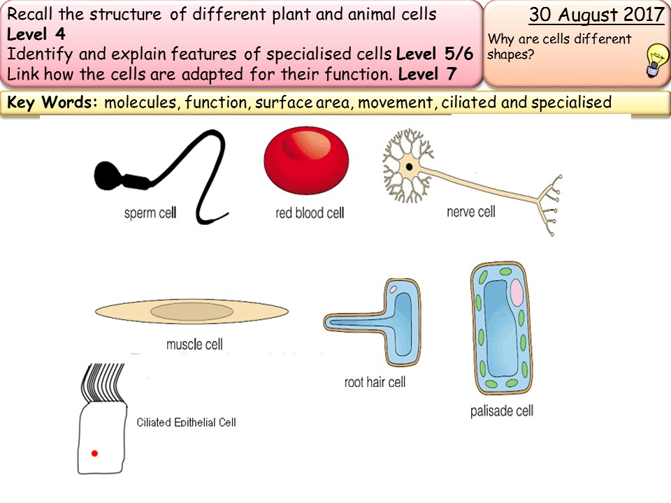 specialised cells New AQA GCSE trilogy/biology- specialised cells by racheltromans ...