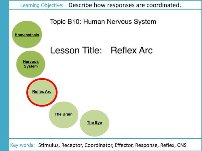 AQA GCSE: B10 The Human Nervous System: L3 The Reflex Arc