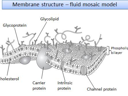 2.1.5 Biological membranes OCR A level biology (7/8 lessons)