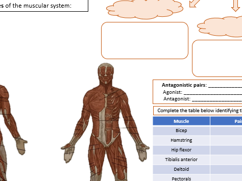 Muscular system revision sheet - BTEC National Sport Unit 1 - Anatomy & Physiology - Topic B