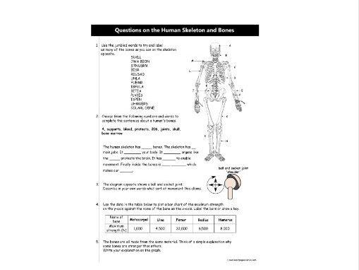 Questions on the Human Skeleton and Bones: KS3 worksheet