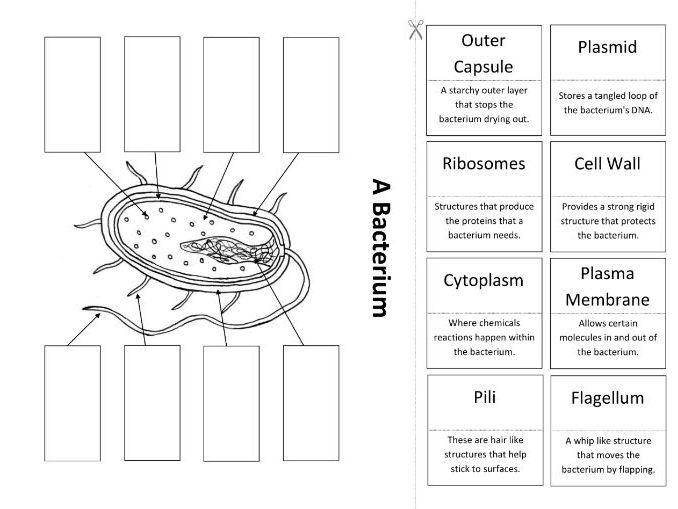 A Bacterium: Create a Labelled Diagram