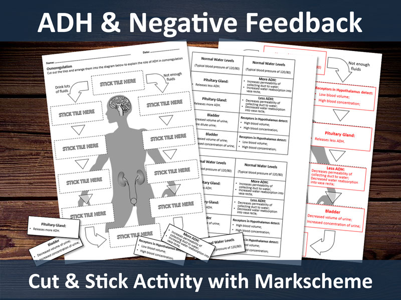 ADH & Osmoregulation Cut and Stick Activity for A-level.