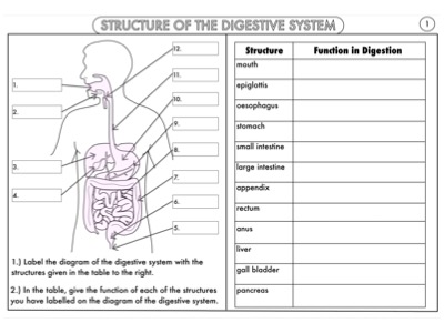 GCSE Biology Worksheet Bundle: Human Biology