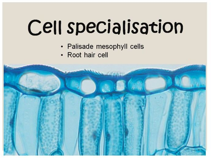 Plant cell specialisation
