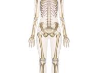 Lesson 10- Functions of the Skeletal System