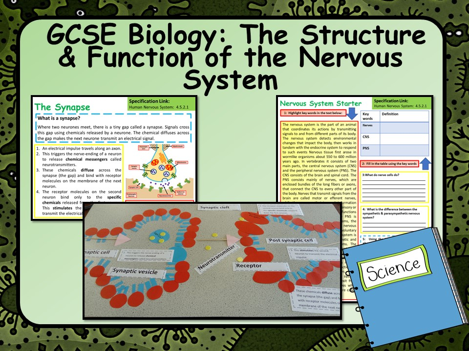 New Gcse Aqa Biology Structure Function Of The Nervous System