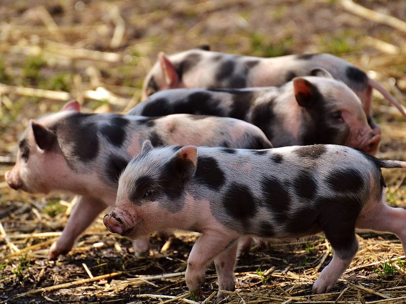 Quiz on The Great Pig Sprint by Judy Allen