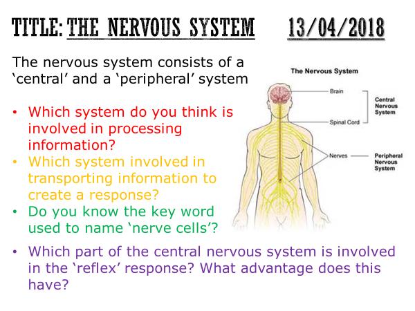 Nerve Cell & Nervous System Diagram Label Worksheets (Differentiated ...