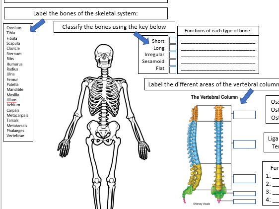 BTEC National Sport Unit 1 - Anatomy & Physiology - Topic A Skeletal system revision sheet