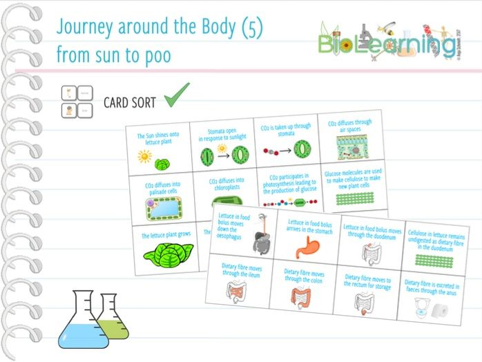Journey around the body (5): from sun to poo - Card sort (KS3/KS4)
