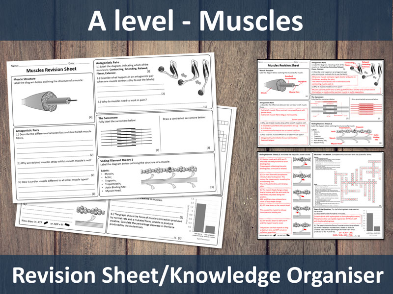 Muscles (A-Level) Revision Sheet / Knowledge Organiser