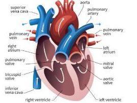 OCR 9-1 GCSE PE 1.4 Cardiovascular System