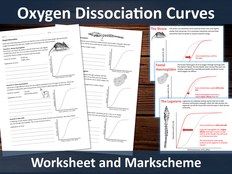 Oxygen Dissociation Curves (Haemoglobin) Worksheet for A-level