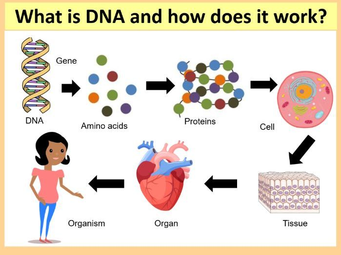 GCSE SCIENCE (BIOLOGY): What is DNA and how does it work?