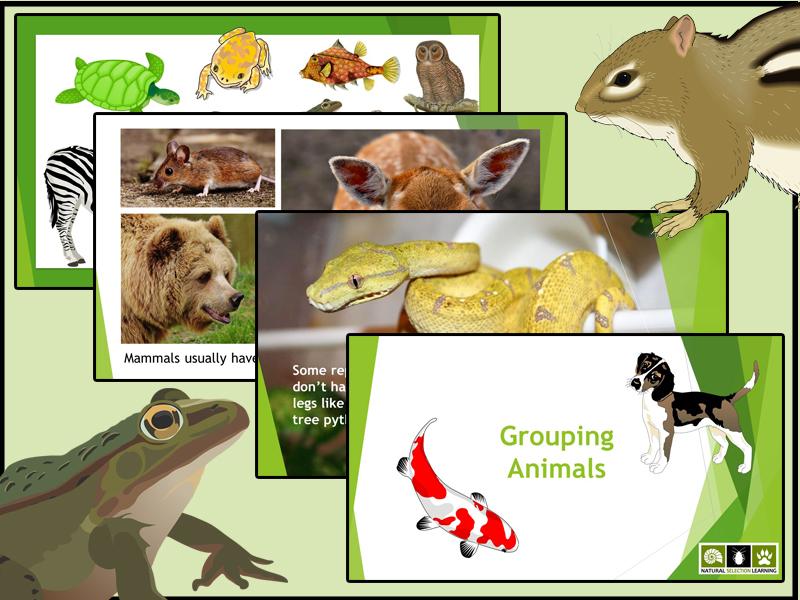 Grouping Animals PowerPoint Presentation KS1 (classification, mammals, birds, reptiles, amphibians)