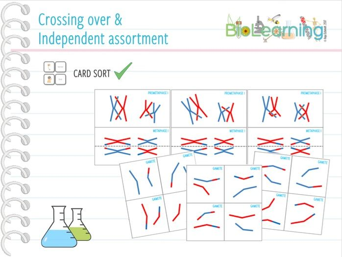 Crossing over & independent assortment - Card sort (KS4/KS5)