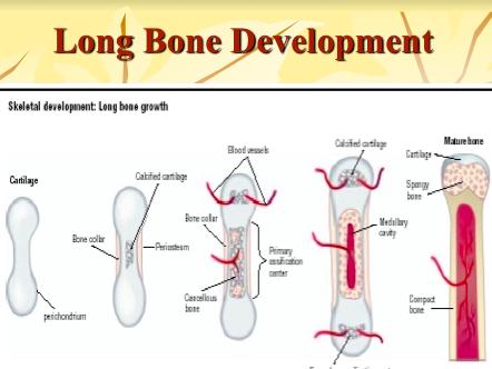 GCSE P.E - 6 x Bones/Skeleton PowerPoints