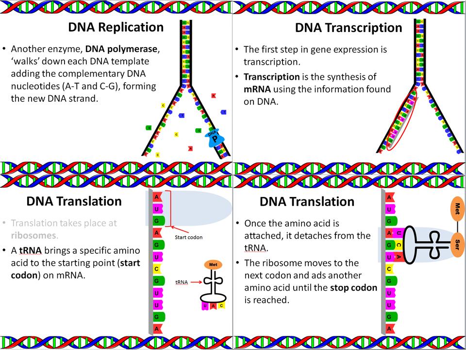 Genetics: DNA Replication, Translation, and Transcription Slide Show
