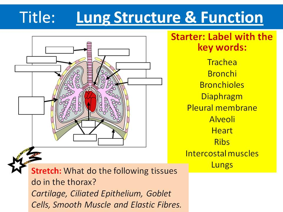The Lungs Structure & Function - OCR AS/A Level Biology