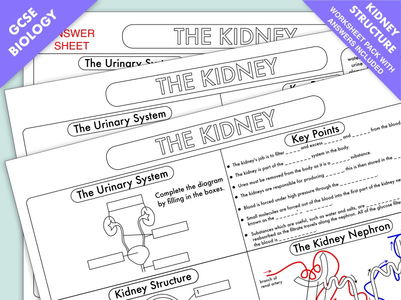 GCSE Biology: Kidney Structure and Function Worksheet UPDATED