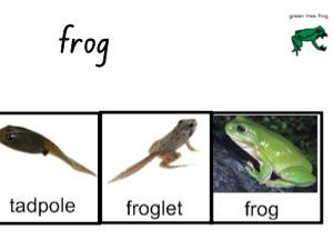 Life Cycle of a frog - Interactive Activities and Worksheets