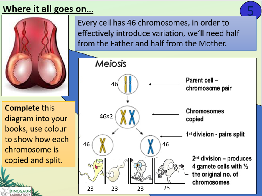 KS4 B12.2 Cell Division in Sexual Reproduction