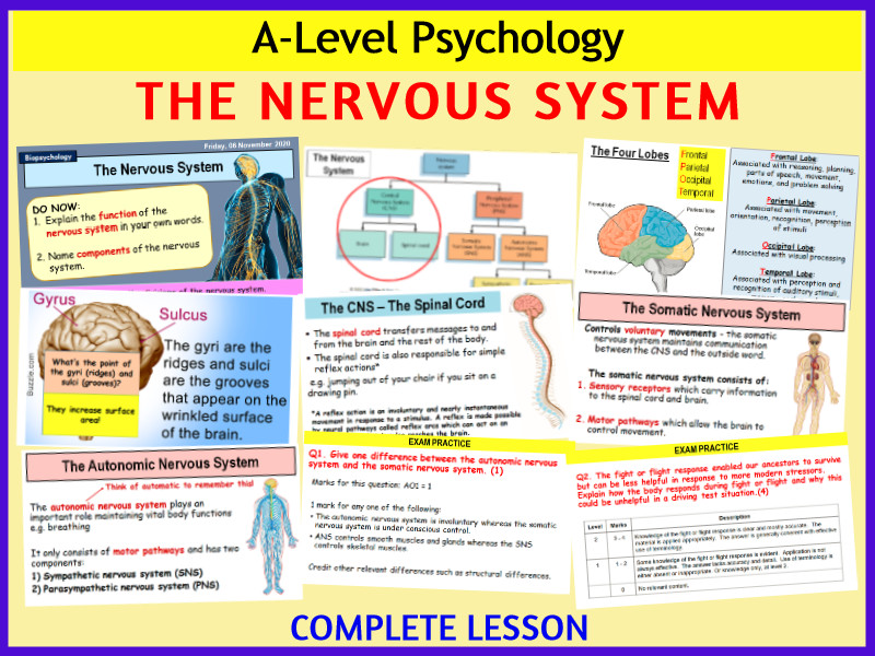A-level Psychology - THE NERVOUS SYSTEM (Year 2 Biopsychology topic)