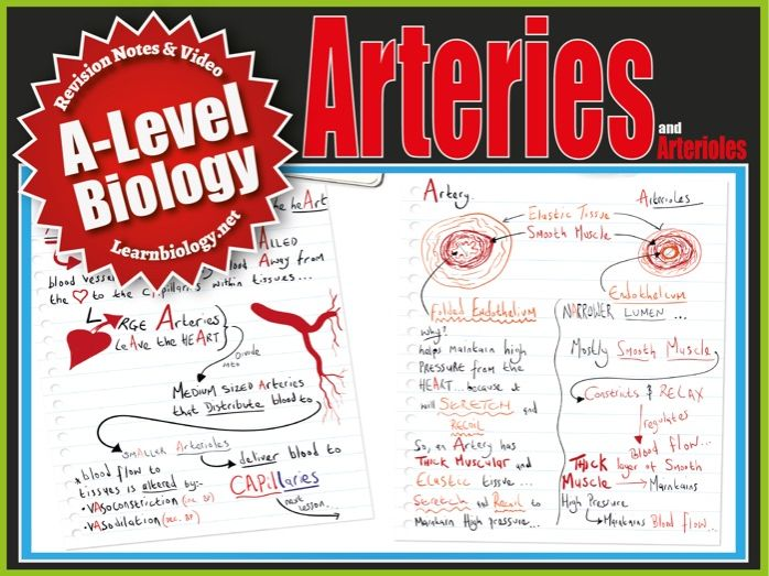 Arteries & Arterioles  - Cardiovascular System -  A-Level Biology Revision Notes and Worksheet