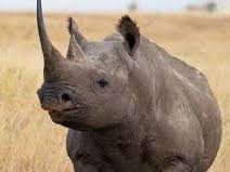 Non chronological report - endangered animal, Black Rhinocerous report and reading activity