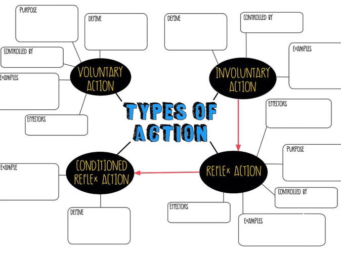Graphic Organiser - Types of voluntary & involuntary actions